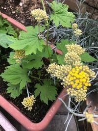 プランターでゴーヤを栽培し始めたのですが、同じプランター内に謎の植物が生えてきてしまいました。ホームセンターで購入した土に混ざっていたのかもしれません。 何の植物かわかる方がおられましたら、教えていただきたいです。(後ろにあるグレーっぽい草は別の植物です)