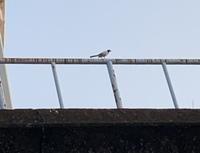 熊本県南部でみかけた野鳥です。 遠くからの写真で申し訳ないですが、なんという野鳥でしょうか?? 場所は球磨川沿いです。