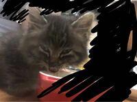 保護猫の猫種について。 初めまして。1週間ほど前に子猫が1匹でさまよっているところを保護しました。 質問なのですがこの子猫の種類はなんなのでしょうか? 気になって調べてみたものの雑種なのか当てはまる猫ち...