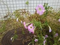 この花の名前を教えてください。 撮影日 2019/6/16 撮影場所 兵庫県南あわじ市 宜しくお願いします。