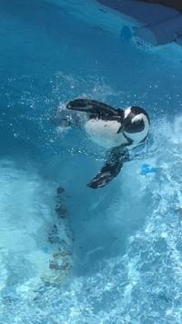 ペンギンが横泳ぎする理由は? 閲覧有難うございます。 先日遊園地でペンギンを見ましたが、観光客にアピールするように身体を水面から出して、横向きに泳いでいるペンギンがいました。 この横向き泳ぎはどうい...
