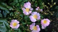 バラの品種名を教えていただけませんか?  6月中旬に直径3センチくらいの薄いピンクの花が咲くバラです。  花びら1つ1つの形が特徴的でした。