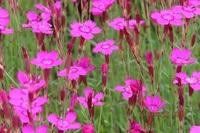 この花はなにですか シバザクラ見たいに小さい花ですが ナデシコですか  よろしくお願いします。