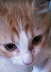 子猫の目ヤニとただれについて 生後3ヶ月弱の子猫ですが、本日確認したところ目やにとただれが出来ておりました。 普段からこちらの目は目やにが出来やすく、また、硬めで取りにくかったため2日前程にお湯に濡ら...