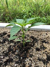 ピーマンを庭で育てています。 脇芽を取るのは一番花が咲いてからですか? 初心者なのでお手柔らかにお願いします。