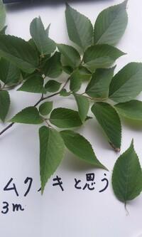 エノキがムクノキを産む事はないです。(備忘ア林)  参照画像はムクノキと確信している若木から採集した葉です。 エノキとムクノキの違いは理解したつもりですが、千葉県の林の中に直径80cmほどのエノキがあります。 ところが、その大木のしたにはエノキではなくてムクノキが若木が30本以上育っています。 もう10年位笹竹を切って、刈って手入れはしていましたが、当時はエノキもムクノキも分からず、...