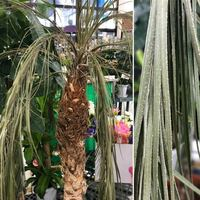 観葉植物、フェニックスロベレニーについて質問です。 ここまで元気がなくなると再生は不可能でしょうか?(写真左) また葉の全体に白いプツプツがついていますが なんの病気かわかる方がおられましたらご教授ください。(写真右)