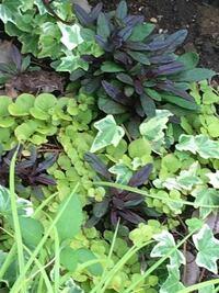 この黒っぽい葉の植物はなんですか