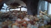 サワガニの雄がフンドシを開けたり閉めたりを繰り返してますが何をしてるのでしょうか? ちなみに雌は卵を抱えているので隔離しています。