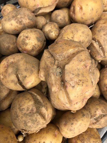 ジャガイモの収穫をしました!今年はこの様な 形のジャガイモが多かったです。 どうしてこの様な形...