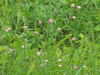 この植物の名前はなんですか? 撮影地は北海道の道東の砂浜近くです。撮影日は6/29。