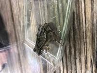 このカエルの名前を教えてください。 大阪府の山奥の川岸で、木の枝に乗っていました。