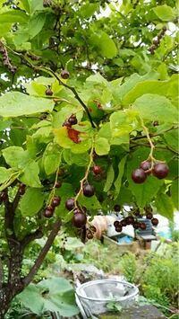 この木の名前を教えてください。樹高は2メートルぐらいで今たくさんのブドウのような実がなっています