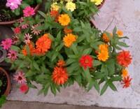 これはプロフュージョンの八重咲でしょうかそれとも百日草でしょうか?それと見分けるポイントも教えて下さい。花径は4~6cm程度です。