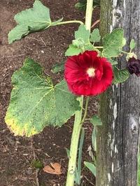 花の名前についてです!この赤い花の名前が知りたいのでご存知の方教えてください!  学校で咲いていたものですが私は初めて見て、赤い花で検索してもそれらしいものが見つからず… すごい気 になってモヤモヤ...