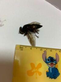 これは蜂ですか? 洗濯物入れてたら、室内に入ってきました。殺虫剤でやっつけたのですが、窓の外にもう1匹とんでいます。蜂だとしたら、昨日まではいなかったのに急に巣を作ったりするのでしょうか。 写真が分かりにくくてすみません。