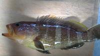 相模湾でつれた魚ですがこの魚はなんという魚ですか?