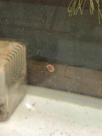 淡水の水槽にて見つけました。貝に関して詳しい方 回答お願いします。