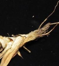 アガベ チタノタについてです。 まだ初心者でわからない事が多いのですが、画像のような根だけの物でも増やす事は可能なのでしょうか?