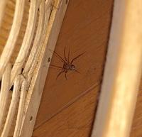 この蜘蛛ちゃんはユカタヤマシログモでしょうか? 今年の冬ぐらいに見掛けてから久しぶりに会ったのですが種類がイマイチわからず… ご存知の方いらっしゃいましたらご教授願います。  日中 ドアを開けていますが、部屋の気温がかなり上がるので心配です(・・`; ) 元気に夏を越してくれるといいのですが…