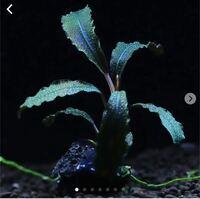 写真の撮り方について質問です。 これはブセファランドラ クダガンという種類の水草なのですが、どのように撮れば写真のように周囲を暗くして水草本体のラメなどを際立たせることができるのでしょうか?