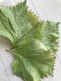 紫蘇の葉について こぼれ種から紫蘇がエアコンの室外機のドレーンホース近くに生えているのですが 新葉もこの様な状態です。 いつも湿った状態です。 病気でしょうか?  離れたところに植え替えれば綺麗な葉になるのでしょうか もう 手遅れでしょうか