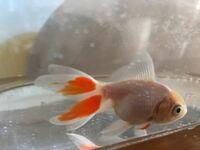 金魚すくいですくってきた金魚です。 この写真の金魚は、何という種類でしょうか?和金というものでしょうか? 目のふちも左右色が赤と白で違い、体は真っ白。四尾で少し赤い部分があります。 詳しい方、是非よろ...