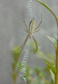 クモの巣が特徴的なこのクモは何というのでしょうか。