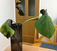 剪定したモンステラが枯れてしまいました。  鉢植えのモンステラを剪定し、切った茎を花瓶に入れそのまま2ヶ月位育てました。根もびっしり生え気根も長くなり、新しい葉も出てきたところで、 鉢植えの土に植えかえ、ベランダに1日置いたところ、写真のように枯れてしまいました。  今まで家の中で水だけで育てていたものを、外に1日置いてしまったので、暑すぎて枯れてしまったのでしょうか?それとも土が合...