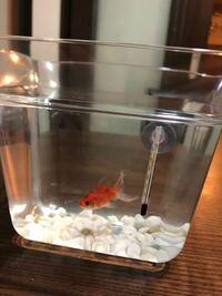金魚鉢で金魚を飼い始めたのですが何か足りないものはあるでしょうか?