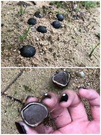 この黒い実?のようなものは何でしょうか? 丸くてぽこぽこと生えており、根がついています。 沢山あるので気になります。キノコかと思い調べたのですが分からなかったので詳しい方教えて頂けると嬉しいです。 場...
