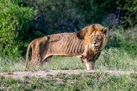 ある場所に行くとライオンがいました。 あまりに痩せすぎてて、何か餌をあげたいと思ってます。何がいいですか?