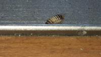 ベットの下に10匹くらいにいたのですが、この虫の名前は何ですか?