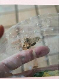 蛾の種類を教えてください。 先日朝顔に青虫をみつけ、子どもの理科の課題にと成長を見守っていました。しかし蝶かと思って育ててみたら、蛾に成長しました。蛾の種類を本やネットで調べましたが、種類が多すぎて...