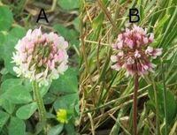 変わり種のシロツメクサ。名前を教えて下さい。  花序の直ぐ下に3出複葉がありませんので、アカツメクサ(ムラサキツメクサ)ではありません。