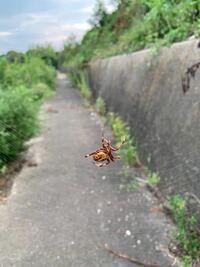 このクモはなんて種類のものですか?ハイイロゴケグモという指摘を受けたので気になりました。場所は三重県の北の方の平野です。近くに民家はなく田んぼくらいなのでサイトで見たハイイロゴケグモの生息場所と合...