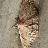 玄関に恐ろしく大きい蛾がいました。 名前教えてください