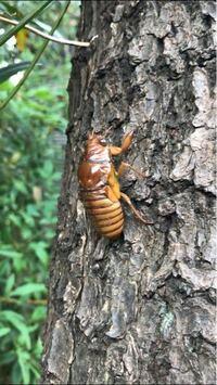 セミの寿命って1ヶ月もあるって本当ですか? 環境にもよるのでしょうか。  先日、恐らく木から落ちてひっくり返り、道端でバタバタしているところを蟻に襲われていた「抜け殻前の蝉」を木に移動させたのですが(セミにもおっちょこちょいな子がいるんですね)、 セミオトコではありませんがご近所さんみたいなものだし、できれば長生きしてほしいなと思いまして◎