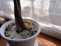 植木鉢から黄色いキノコが生えてきました。 どうすればいいでしょうか? 対策方法を教えて下さい。