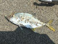 愛知県の表浜でジグサビキのサビキ部分で釣りました。 この子は何というお魚ちゃんですか? ワカシ(ツバス)ですか?だとしたらもっと細身と思うのですが。。 大きさは12,3cmと小さいのでリリースしました。