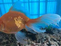 去年の5月から飼い始めた金魚が尾ぐされ病な気がします。 本日、水槽の半分の水を交換しました。  金魚は食欲もあり、元気に泳いでいますが、薬浴をしたほうがよろしいでしょうか?