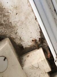この羽アリがシロアリ系なのかクロアリ系なのか、住宅に害があるかを教えていただければ幸いです。宜しくおねがいします。