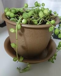 グリーンネックレスを先月買い、ビニールポットだったのでそのまま土を足して鉢にうえました。根っこが土の中からたくさんはみ出していたり、茎の途中?で少し根っこが出てきてるところが全く土 についていなかっ...
