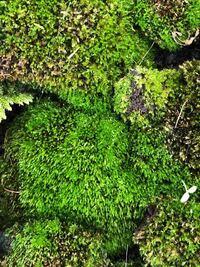 苔について質問です。 家の前、コンクリートの隙間に生えていた苔です。 何という苔かわかりますか? 自分なりに調べたら、ギン苔かな..?? また、この苔を土無しで育てて、増やす事は可能でしょうか?