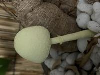 観葉植物の鉢から生えてきたのですが、このキノコは何でしょうか?