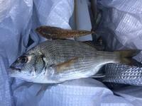 何の魚か教えてください  新潟のサーフでキス釣りをしてたら釣れました。食べるつもりなので、何の魚か知りたいです。