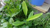 鉢植えの、この植物の 名前が知りたいです 7月に発芽して、9月の姿です