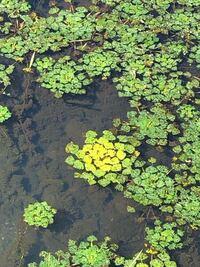 この浮き草はなんという名前でしょうか?