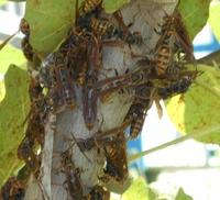 巣を放棄したハチの行動  毎年ベランダにアシナガバチ? に巣を作られていまして 私は放置したいのですが、 近隣は迷惑するらしいので、 毎年、私が巣が小さい内に取り除いているのですが、 今年は忙しく いつの間にかベランダに巣を作られていました。 大人のコブシ1個と半分くらいの大きさの。  取り除こうと思い、見ましたら、無人(無蜂)状態でした。 おそらく既に誰かに殺虫剤でや...