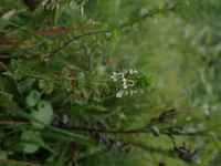 長野県の菅平高原で見つけた花です。小さくて可愛いと思うのですが、なんという名前の鼻か教えていただけますか?